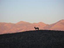 A lone coyote hunts at dusk at Death Valley National Park