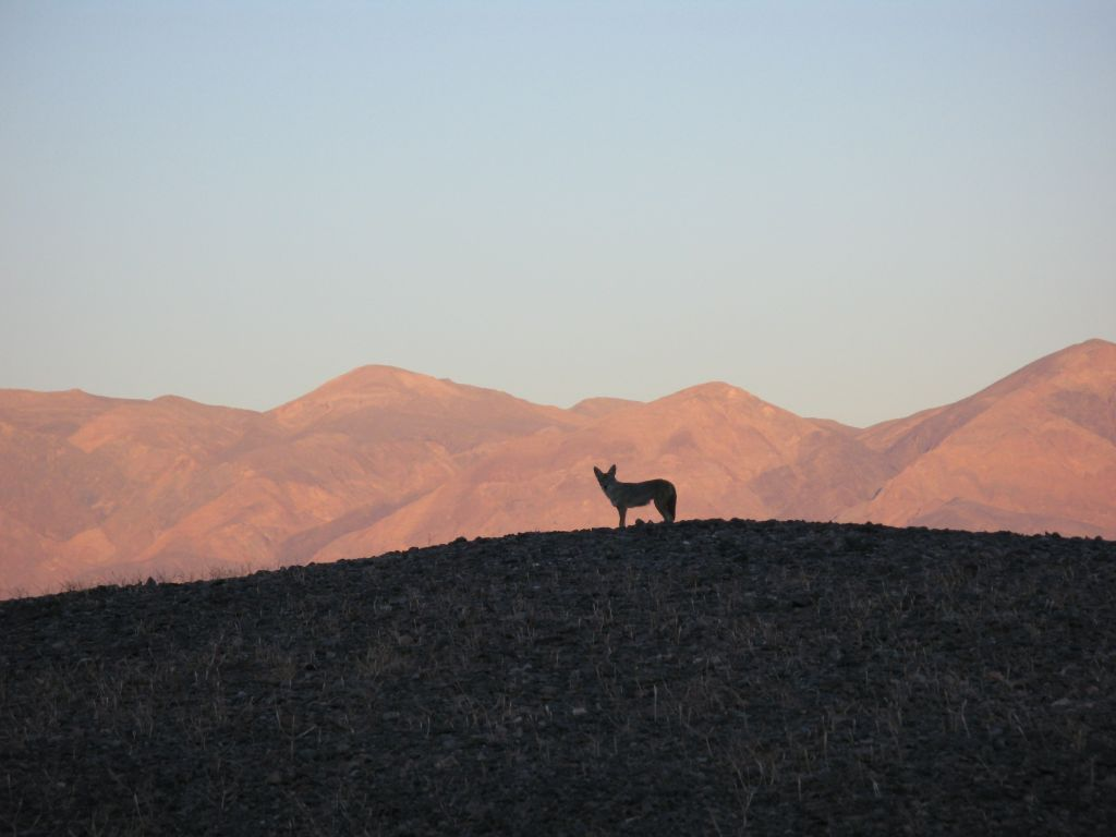 A lone coyote hunts at dusk at Death Valley National Park.