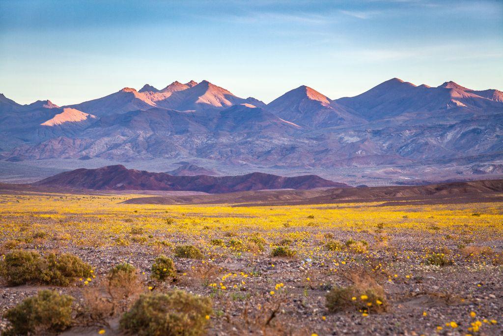 Super Bloom Of Desert Gold Desert Wildflowers, Death Valley