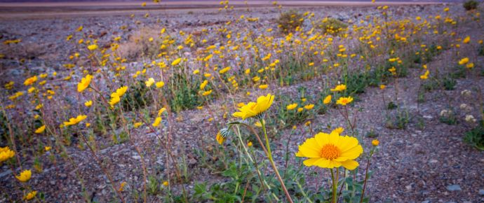 Super Bloom Of Desert Gold Wildflowers At Sunrise, Death Valley